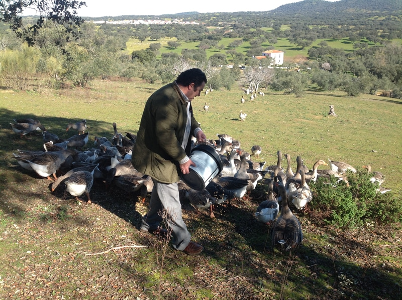 A man is feeding geese in a field