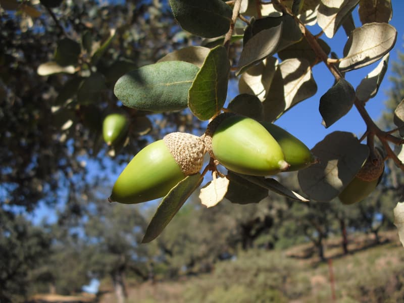 Holm oak acorns