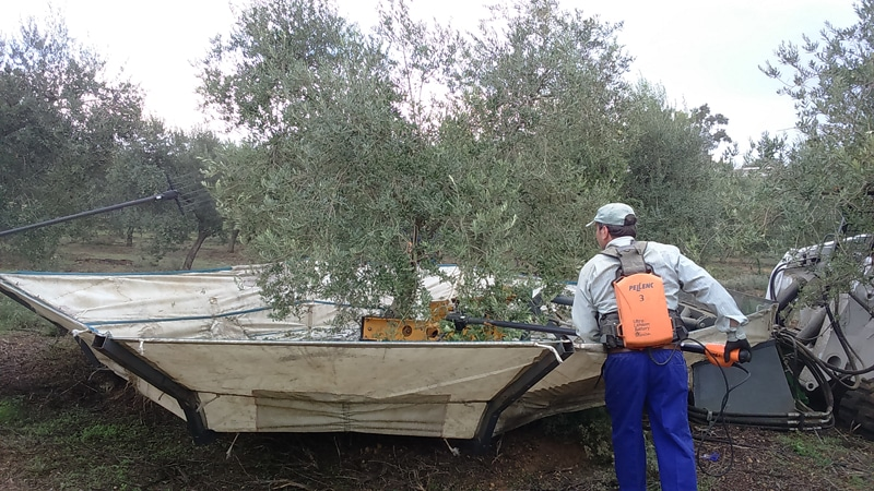 Picking olives during our olive oil tour