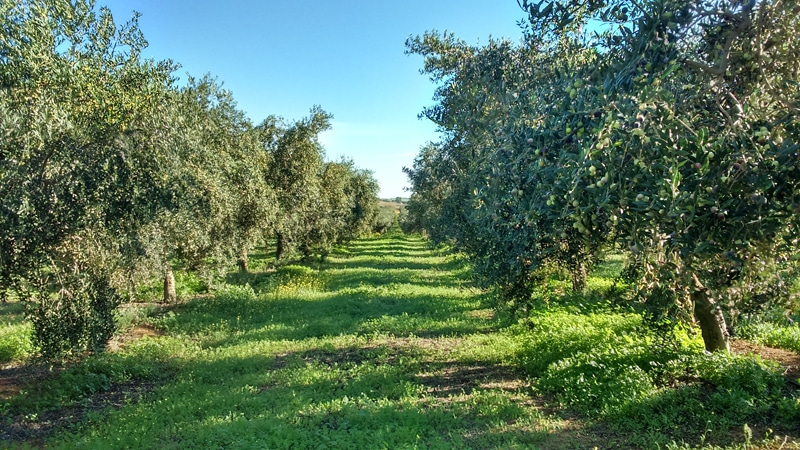 Row of olive trees with vegetation between them