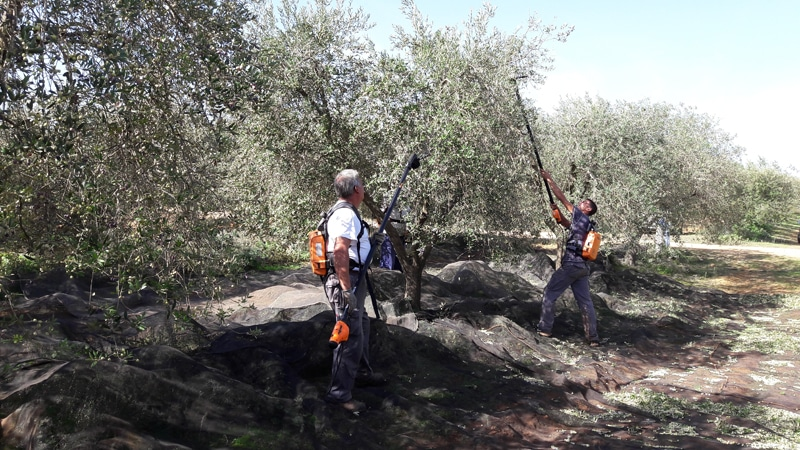 Two men harvesting olives with electric combs