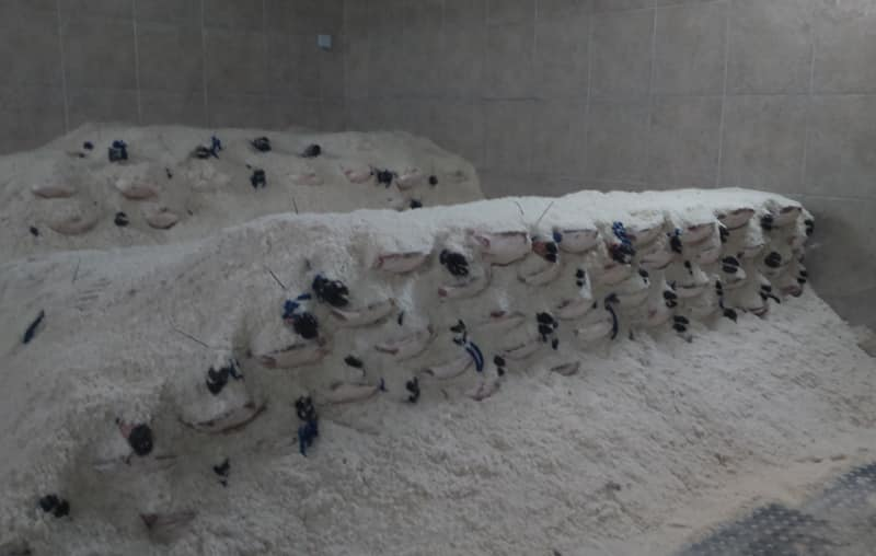 Iberian hams being salted
