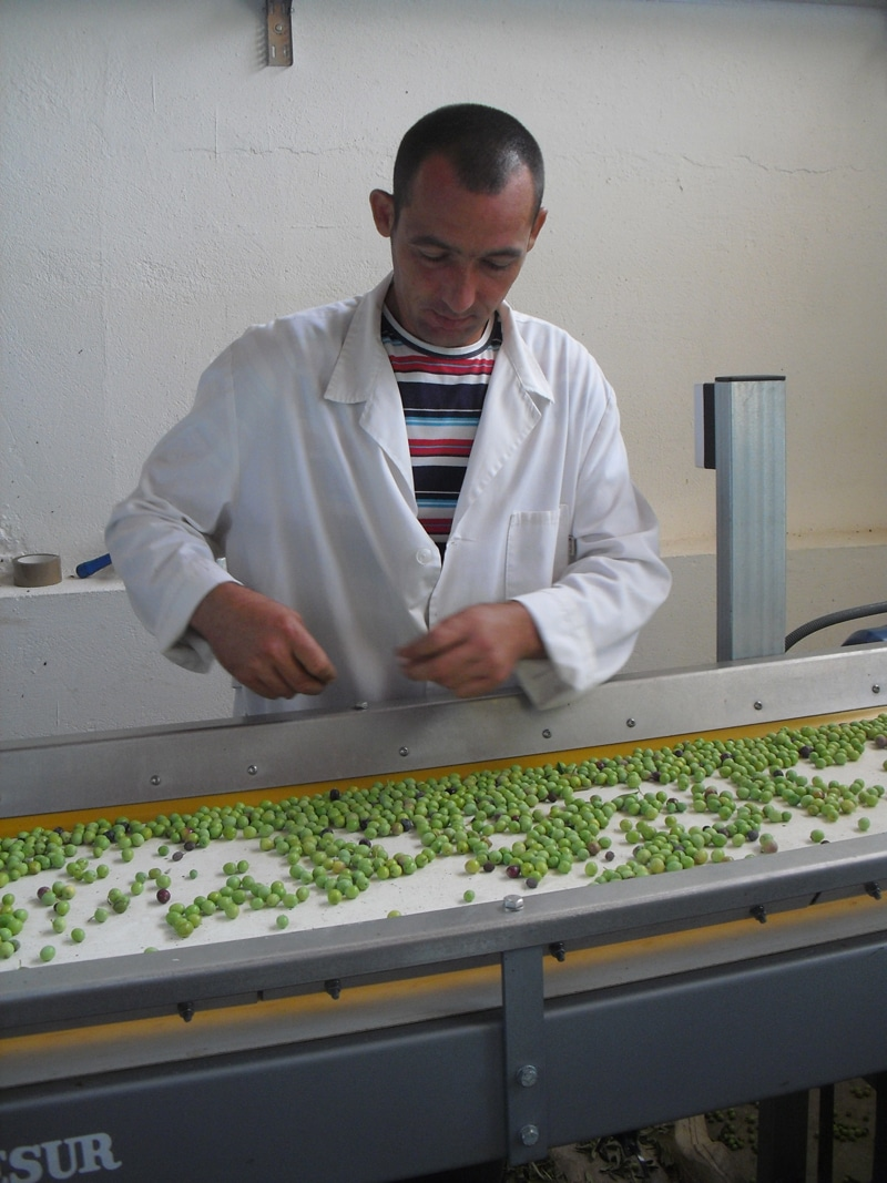 A man working at a sorting table for olives