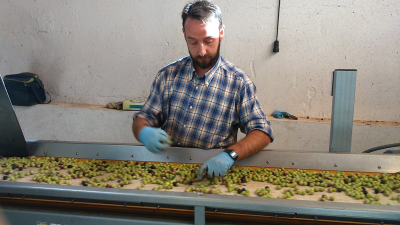 Man working at olive oil sorting table
