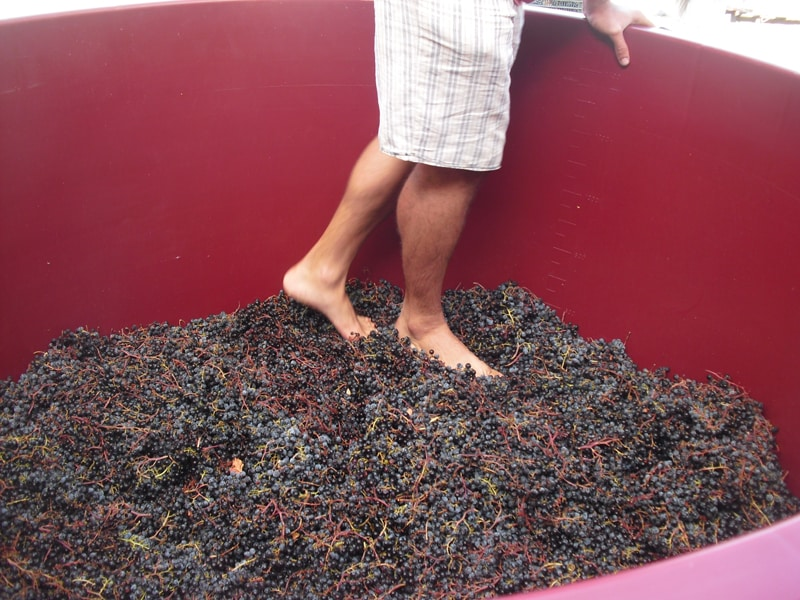 Treading grapes during our wine tour