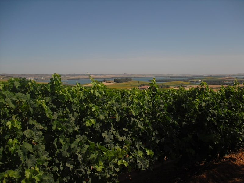 Vineyard near Arcos de la Frontera  on our wine tour