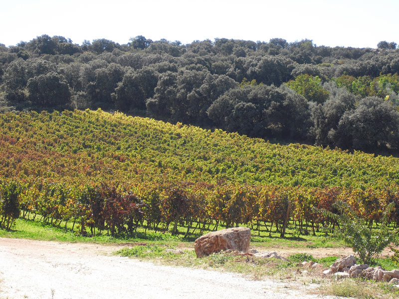 A vineyard near to Ronda