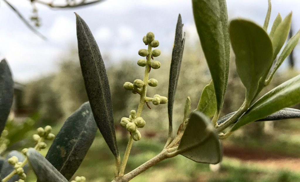 olive tree in bud