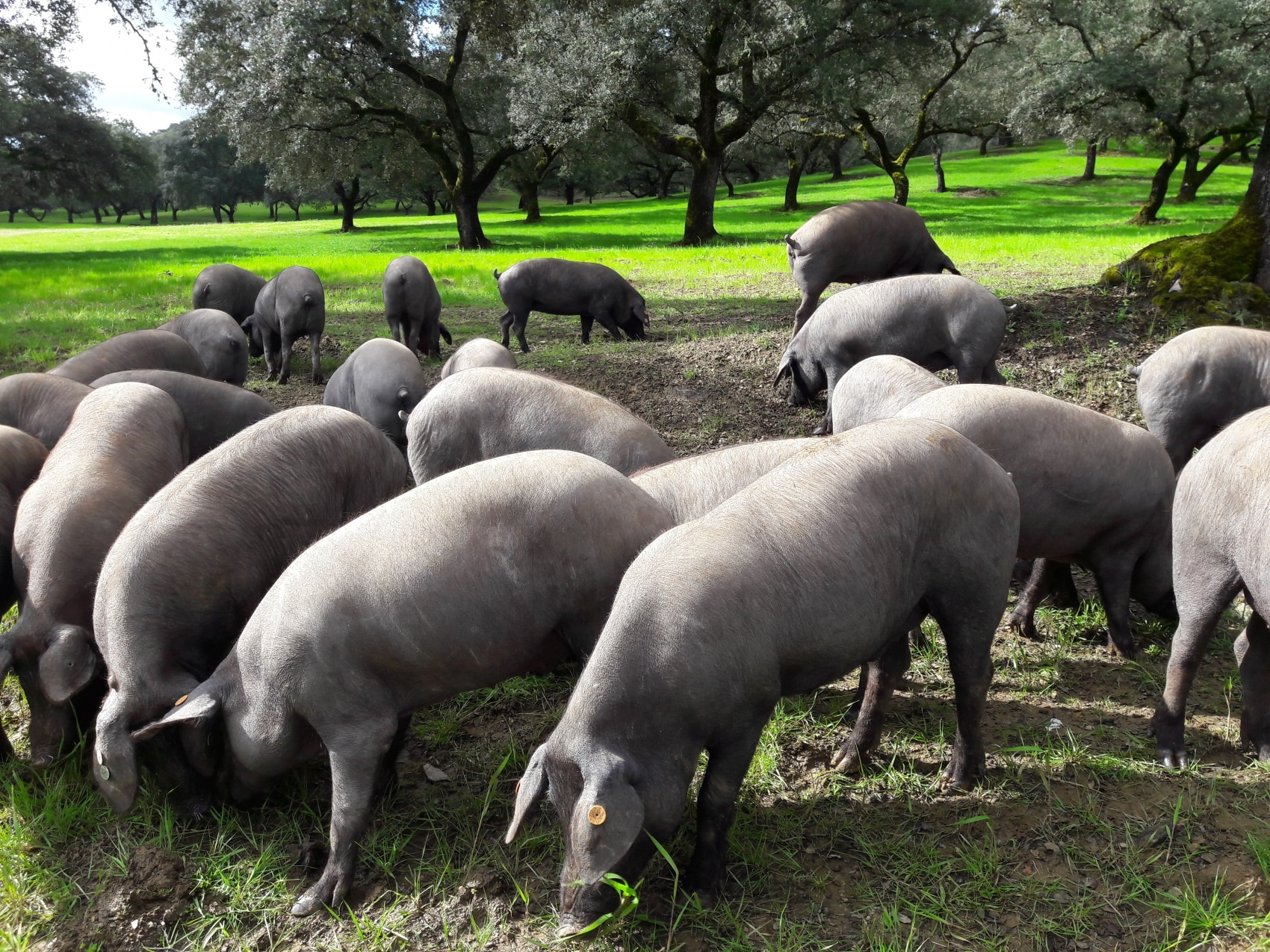 Iberian pigs foraging for food