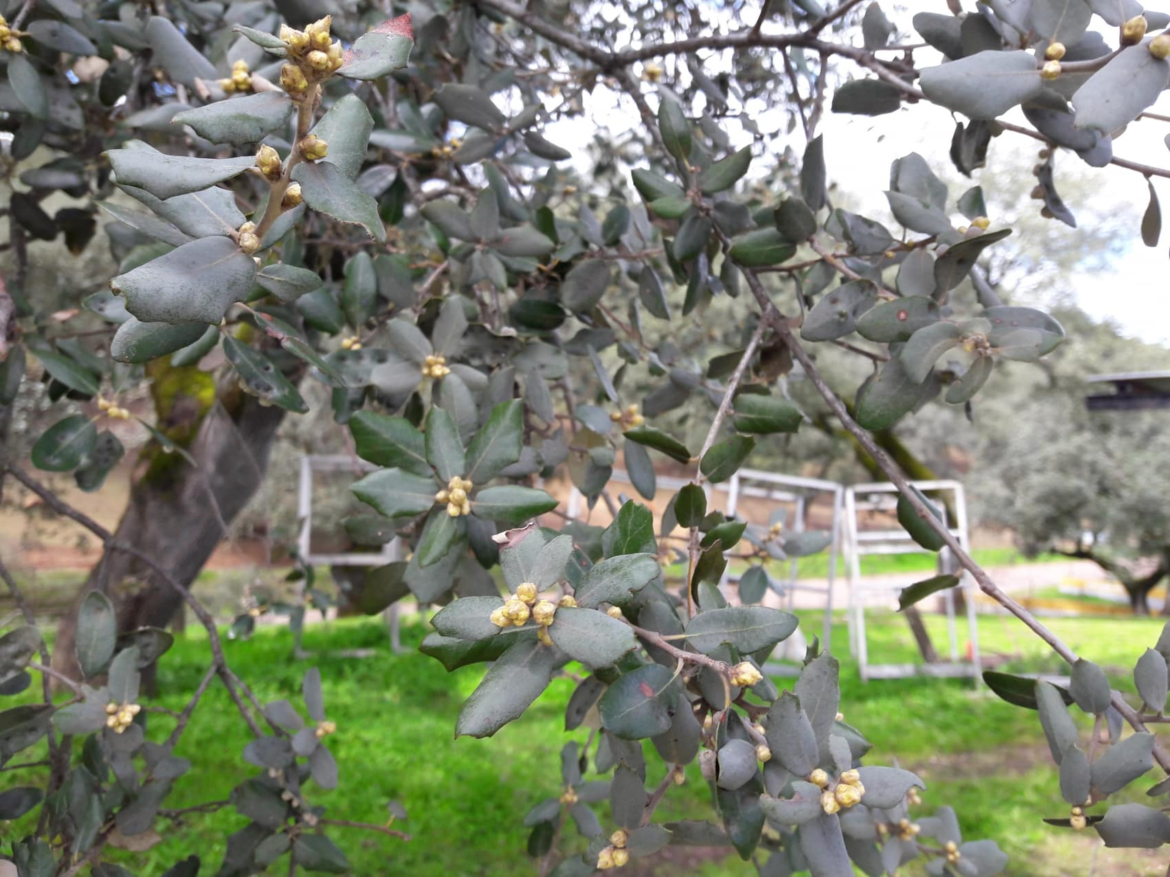 buds on holm oak tree