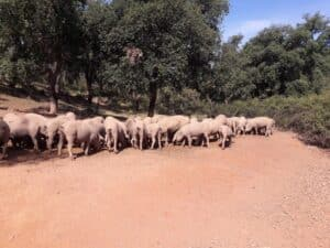 Iberian pigs feeding